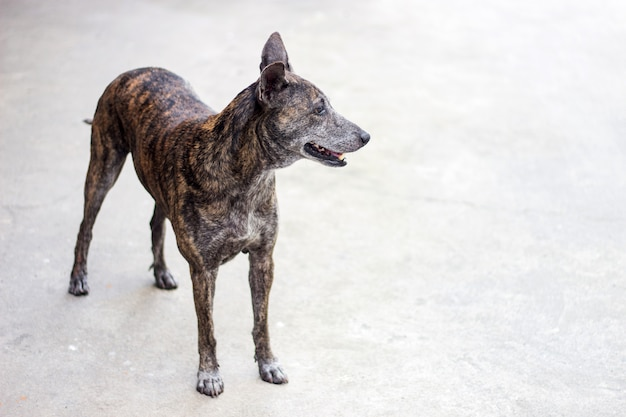 Szkoda twarzy bezpańskiego psa w kolorze tygrysa