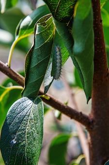 Szkodniki ogrodowe caterpillar zjadają liście na drzewie w ogrodzie