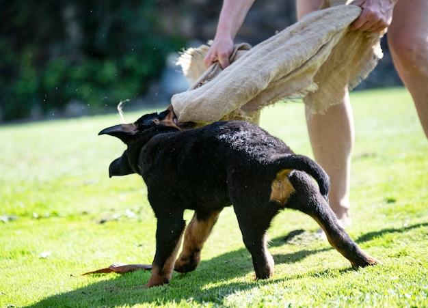 Szkolenie szczeniąt rottweilerów do ochrony na świeżym powietrzu