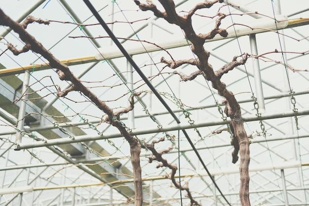 Szkolenie w zakresie przycinania drzew owocowych winogron