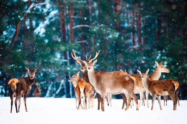 Szlachetne jelenie przed zimowym lasem.