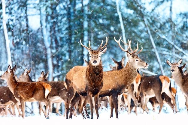 Szlachetne jelenie zimą