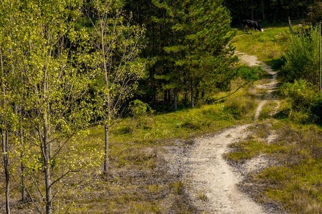 Szlak leśny i krowa