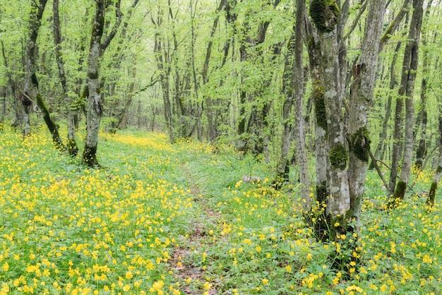 Szlak turystyczny z zielonym poszyciem leśnym po bokach porośnięty żółtymi kwitnącymi kwiatami.