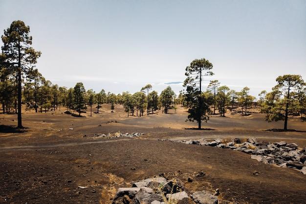 Szlak w sosnowym lesie po zboczu wulkanu w pogodny dzień. podróż na wyspy kanaryjskie. podróż na teneryfę do parku narodowego teide.