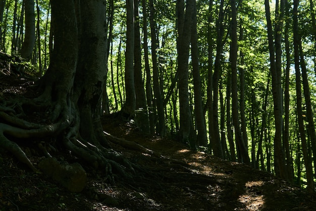 Szlak w starym zacienionym bukowym zagajniku na zboczu góry