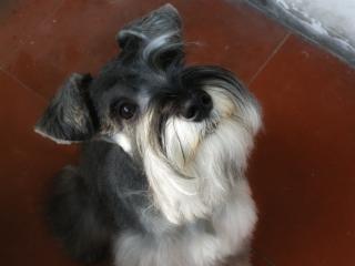 Sznaucer miniaturowy, pies