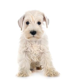 Sznaucer miniaturowy szczeniaka przed białym tłem