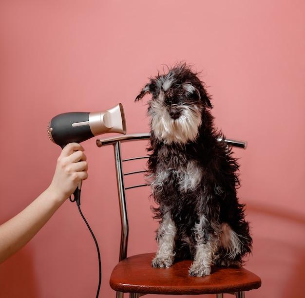 Sznaucer pies na różowym tle i suszarka do włosów w kobiecej dłoni