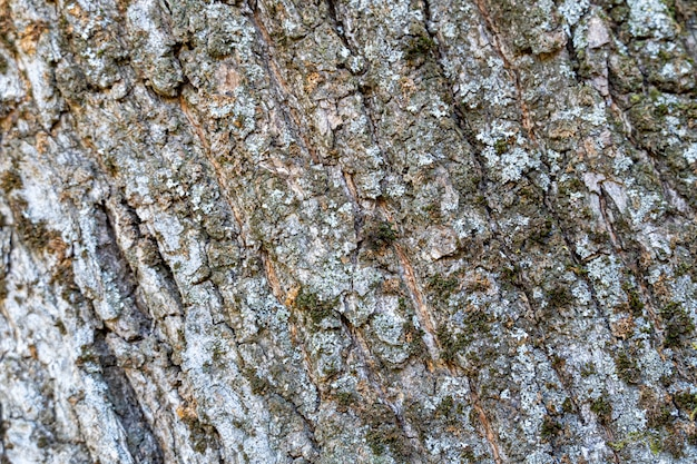 Szorstka tekstura kory drzewa z mchem
