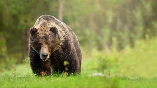 Szorstki brown niedźwiedzia samiec zbliża się na łące z zieloną trawą od frontowego widoku