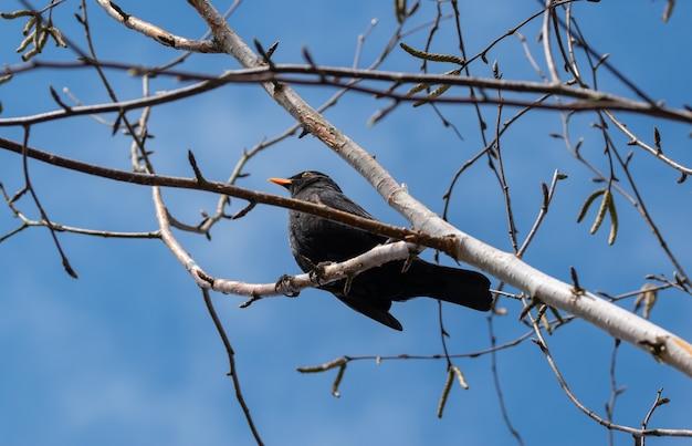 Szpak siedzi wysoko na gałęzi drzewa brzozy z błękitnym niebem w tle.