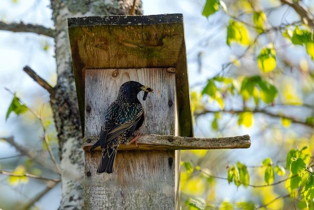 Szpak (sturnus vulgaris) przynoszący robaka do drewnianej budki lęgowej na drzewie.