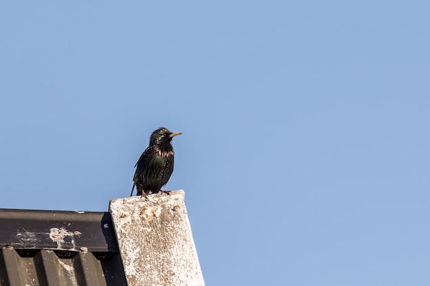Szpak zwyczajny, sturnus vulgaris. ptasi obsiadanie na dachu z niebieskiego nieba i kopii przestrzenią po prawej stronie i wierzchołka