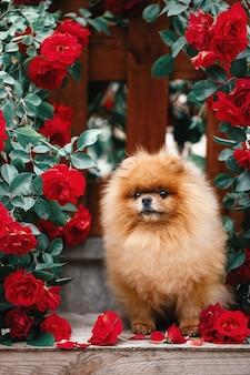Szpic miniaturowy w różach szpic miniaturowy siedzi w kwiatach na pięknym tle