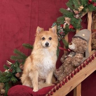 Szpic niemiecki w świątecznej dekoracji
