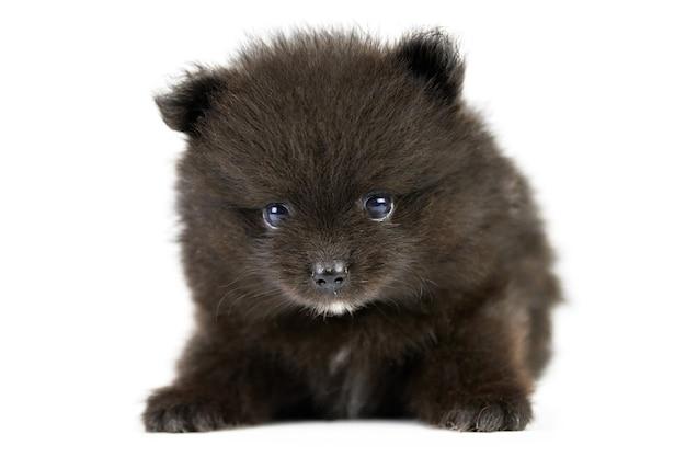 Szpic pomorski czarny szczeniak na białym tle. ładny czarny szpic miniaturowy na białym tle. rasowy szpic, przyjazny dla rodziny zabawny pies pom.