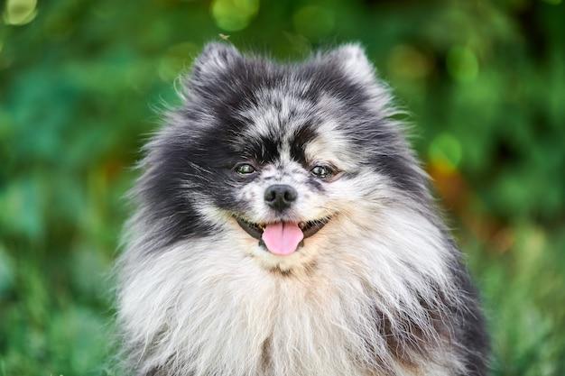 Szpic pomorski pies z bliska portret, zielony ogród tło. śliczny pomorski szczeniak na spacer. zabawny, przyjazny rodzinie szpic pom.