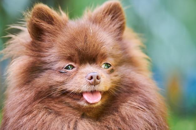 Szpic pomorski psa w ogrodzie, z bliska portret twarz. ładny brązowy pomorskim szczeniak na spacer. przyjazny dla rodzin zabawny pies szpic pom, zielona trawa tło.
