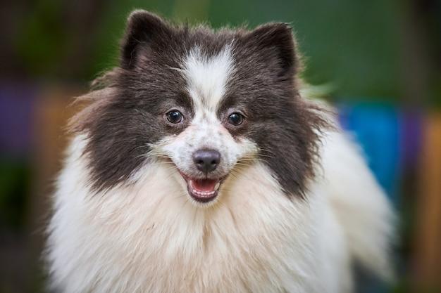 Szpic pomorski psa w ogrodzie, z bliska portret twarz. śliczny pomorski szczeniak na spacer. przyjazny dla rodzin zabawny pies szpic pom, zielona trawa tło.