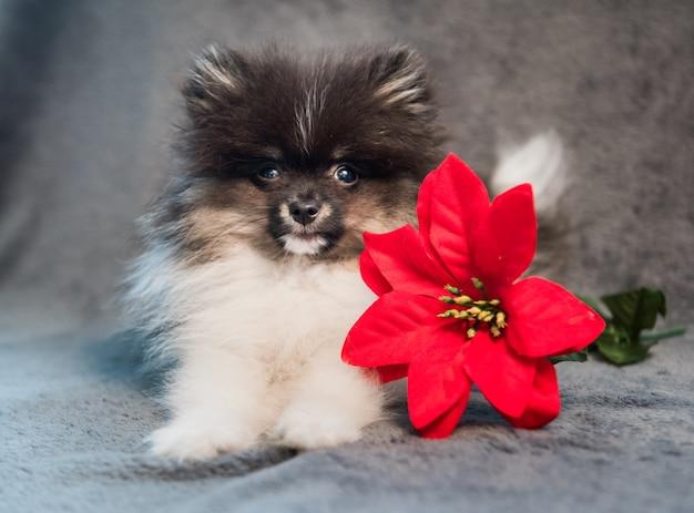 Szpic pomorski szczeniak i czerwony kwiat, kartki świąteczne lub tło na nowy rok