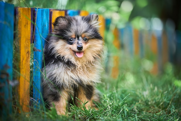 Szpic pomorski szczeniak w ogrodzie. śliczny pomorski pies na spacer. szczenię w kolorze czarnym, szarym i brązowym. przyjazny dla rodzin zabawny pies szpic pom, zielona trawa tło.