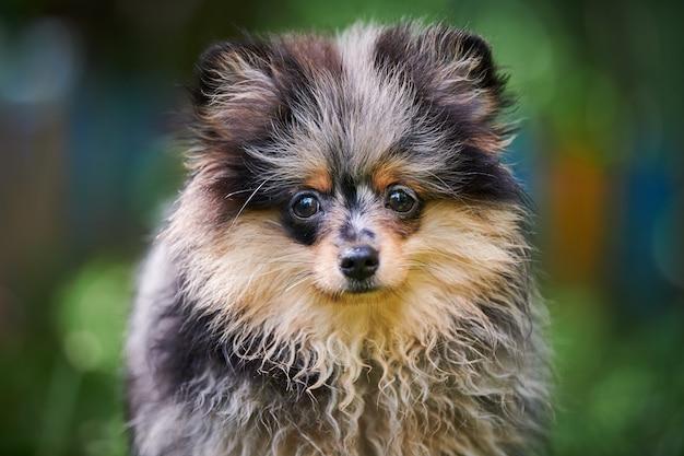 Szpic pomorski szczeniak w ogrodzie, z bliska portret twarz. śliczny pomorski pies na spacer. szczenię w kolorze czarnym, szarym i brązowym. przyjazny dla rodzin zabawny pies szpic pom, zielona trawa tło.
