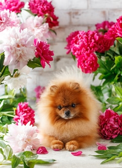 Szpic w kwiatach piwonii szpic miniaturowy siedzi w kwiatach na pięknym tle