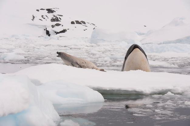 Szpiegowanie wieloryba killer whale