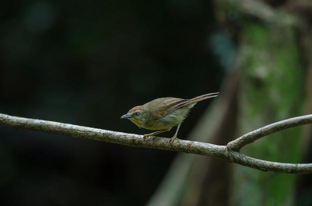 Szpilka pasiasta papla w lesie tajlandia
