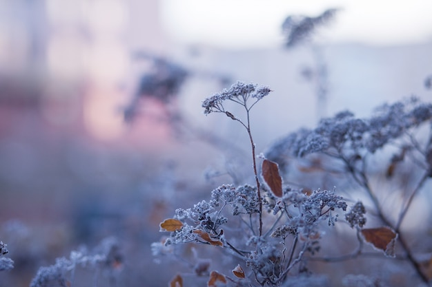 Szron na suchej trawie na łące. trawa pokryta mrozem, dzikie kwiaty i krzewy. pierwszy mróz na łące jesienią wsi. zachód lub wschód słońca