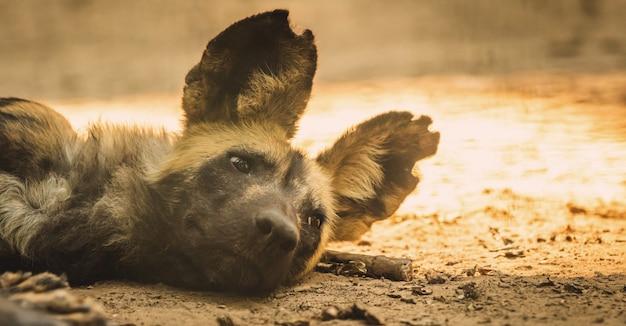 Sztandar dzikiego afrykańskiego psa odpoczywa i śpi na ziemi w dzikiej przyrodzie, zdjęcie portretu zwierząt z afryki południowej