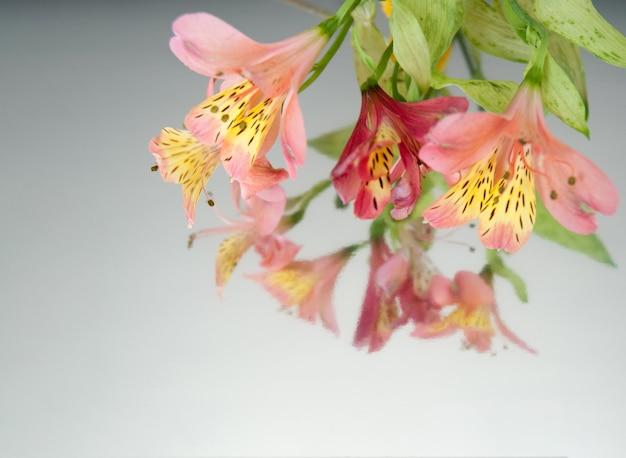 Sztandar z alstroemeria kwitnie na białym lustrzanym tle.