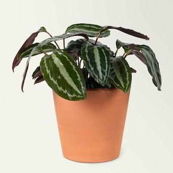 Sztuczna roślina peperomia arbuz w doniczce z terakoty wystrój domu