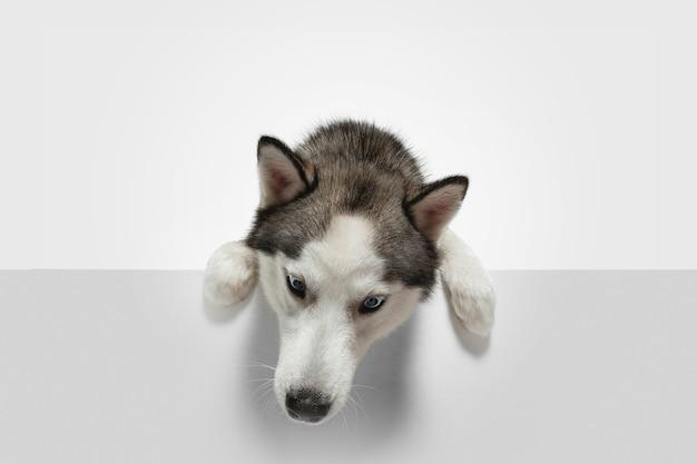Szukam. husky pies do towarzystwa pozuje. śliczny figlarny biały szary piesek lub zwierzak grający na tle białego studia. pojęcie ruchu, akcji, ruchu, miłości do zwierząt domowych. wygląda na szczęśliwego, zachwyconego, zabawnego.