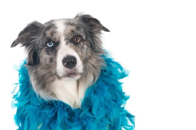 Szukam psa rasy border collie z niebieskim boa. biały.