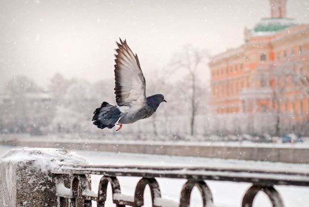 Szybujący gołąb z płotu nasypu zimą podczas opadów śniegu na tle starego miasta.