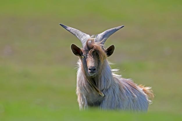 Szykowna koza domowa z dużymi rogami stoi na trawie