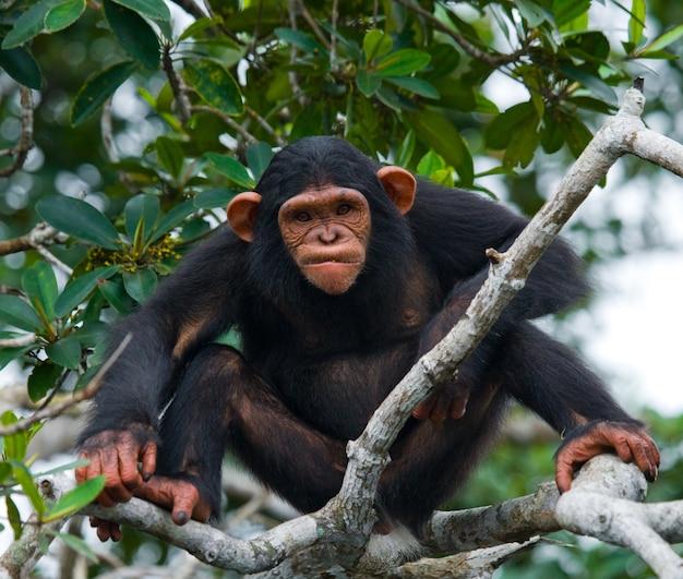 Szympans dziecka na gałęziach namorzynowych