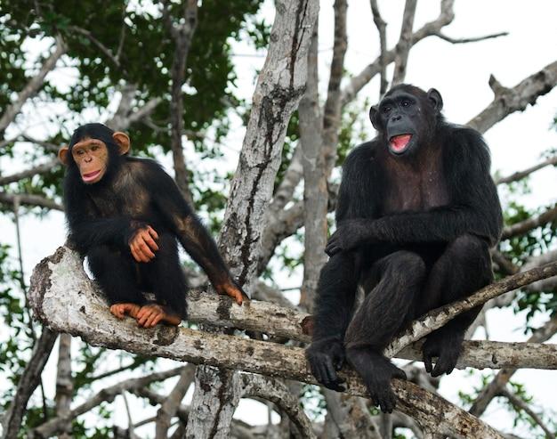 Szympans żeński z dzieckiem na drzewach namorzynowych