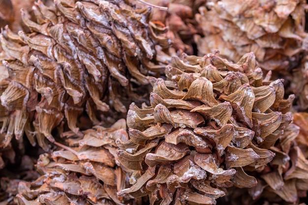 Szyszkasolidne tło ze świeżej, dojrzałej i naturalnej szyszki cedrowej.