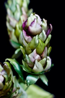 Szyszki chmielowe samodzielnie na czarnym tle. sztuczny jedwab fałszywych kwiatów