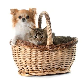 Tabby kot i chihuahua w koszu