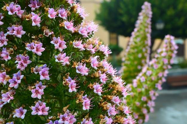 Tajinaste kwiatu dorośnięcie w teide parku narodowym, tenerife, wyspy kanaryjska zamknięty (echium wildpretii).