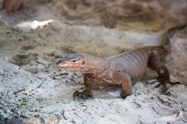 Tajlandia duża jaszczurka