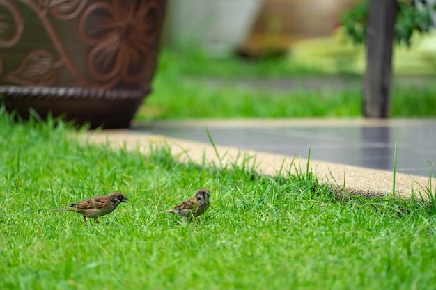 Tajlandia mały brązowy wróbel ptak w gran i parku.