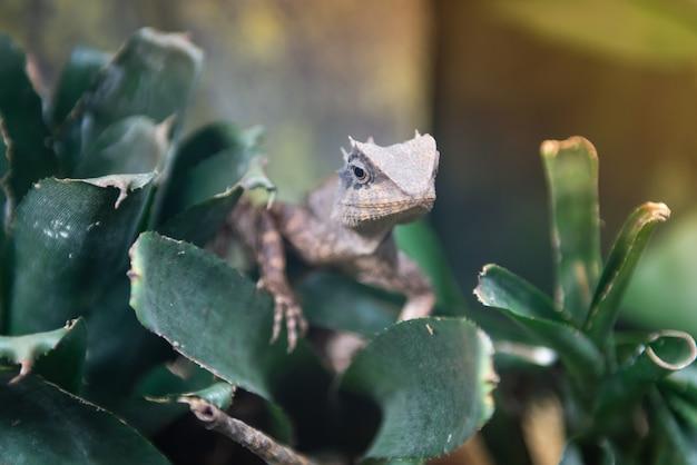 Tajlandia rzadkie gatunki kameleonów