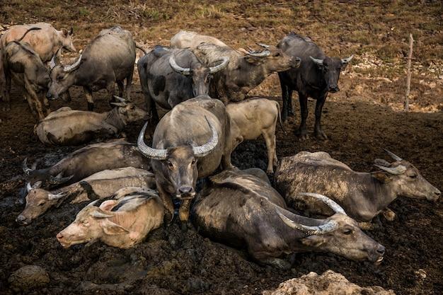 Tajlandzki bizon nad polem