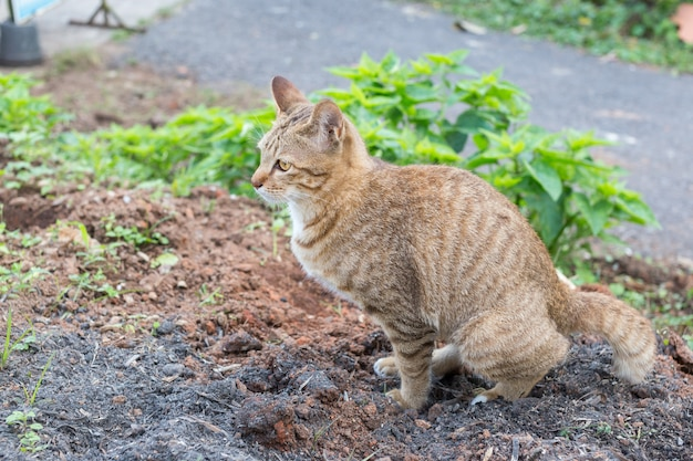 Tajlandzki kot kolor żółty przyglądał się kałom na ziemi.