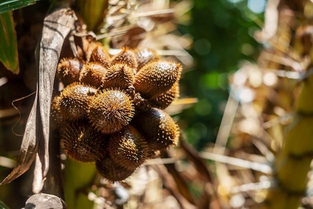 Tajlandzki lychee od drzewa na zamazanej naturze